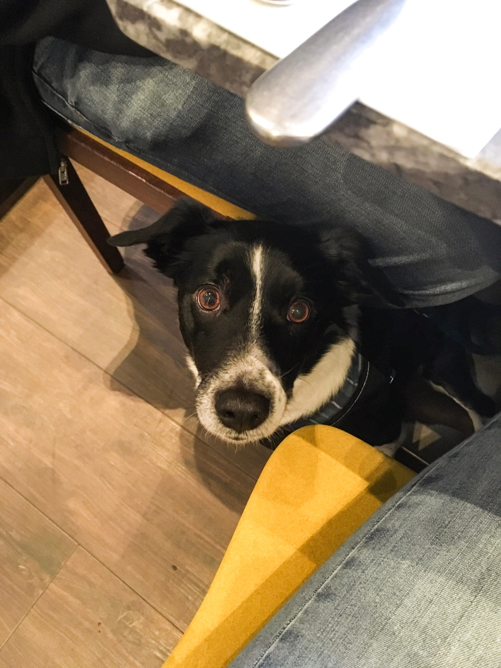 A collie cross dog